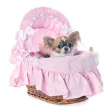 Puppy chihuahua Royalty Free Stock Photos