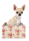 Puppy chihuahua Stock Photography