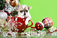 Puppy Chihuahua in red cup Royalty Free Stock Photography