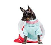 Puppy Chihuahua in a red new year cap Stock Photos