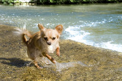 Puppy chihuahua in the river royalty free stock image