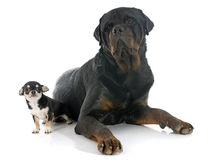Puppy chihuahua and rottweiler Stock Photo