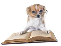 Puppy chihuahua at school royalty free stock image