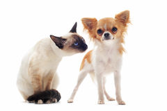 Puppy chihuahua and siamese kitten Royalty Free Stock Photos
