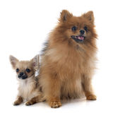 Puppy chihuahua and spitz Royalty Free Stock Images