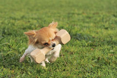 Puppy chihuahua and stick royalty free stock photography