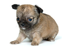 Puppy of the chihuahua in studio Royalty Free Stock Image