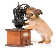The puppy chihuahua in studio royalty free stock photo