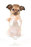 The puppy chihuahua in studio royalty free stock photography