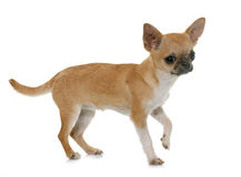 Puppy chihuahua in studio Royalty Free Stock Photo