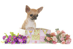 Puppy chihuahua in studio Stock Photography