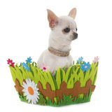 Puppy chihuahua in studio Stock Images