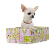 Puppy chihuahua in studio Royalty Free Stock Photos