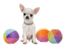 Puppy chihuahua in studio Royalty Free Stock Images