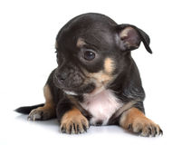 Puppy chihuahua in studio Stock Photos