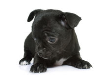 Puppy chihuahua in studio Royalty Free Stock Image