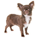 Puppy chihuahua in studio Stock Photo