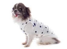Puppy chihuahua with tshirt Stock Photo