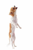 Puppy chihuahua upright. Portrait of a cute purebred  puppy chihuahua in front of white background Royalty Free Stock Photos