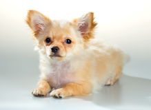Puppy Chihuahua on a white background Royalty Free Stock Photo