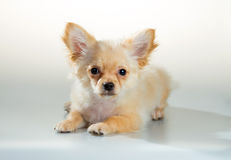 Puppy Chihuahua on a white background Royalty Free Stock Photos