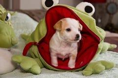 Puppy Chiwawa stock foto's