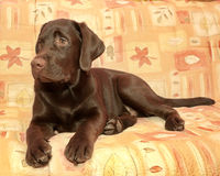 Puppy chocolate Labrador Retriever (age 5,0 months) lying on the Stock Image