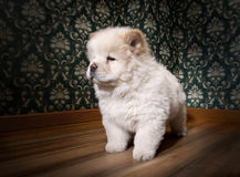 Puppy Chow-chow in a retro room Stock Photography