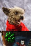 Puppy For Christmas. A Terri-poo ready for Christmas Stock Photography