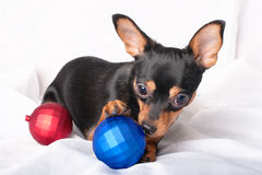 Puppy with Christmas balls. A russian toy terrier gnawing Christmas ball lying on a white tissue Royalty Free Stock Images