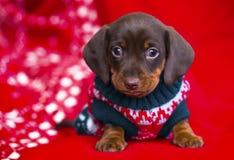 Puppy christmas Dachshund Royalty Free Stock Photo