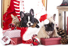 Puppy christmas Royalty Free Stock Images