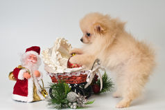 Puppy with Christmas gifts. In the studio Royalty Free Stock Image