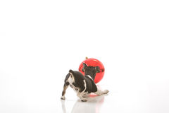 Puppy and a Christmas ornament. A puppy is curious about a jumbo Christmas ornament isolated against a white background stock photography