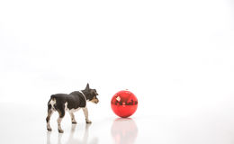 Puppy and a Christmas ornament. A puppy is curious about a jumbo Christmas ornament isolated against a white background. The puppy can see his reflection in the stock images