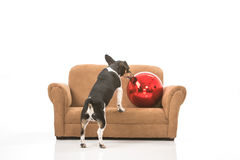 Puppy and a Christmas ornament. A puppy plays with a Christmas ornament on a miniature couch. Scene is isolated against a white background stock photo