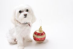 Puppy with Christmas Ornaments royalty free stock photo