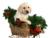Puppy in the Christmas sledge. Royalty Free Stock Photos