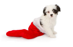 Puppy in a Christmas Stocking Stock Image