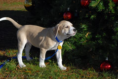 Puppy and christmas tree Stock Photography