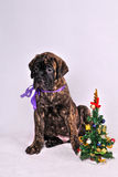 Puppy with a Christmas tree Stock Images