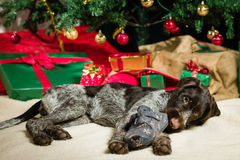 Puppy and Christmas tree Royalty Free Stock Photography