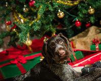 Puppy and Christmas tree Stock Images
