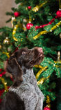 Puppy and Christmas tree Stock Photo
