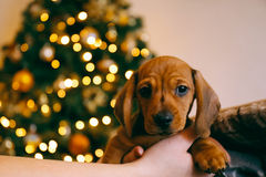Puppy for Christmas Stock Image