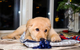 Puppy and christmas 2 Royalty Free Stock Photos
