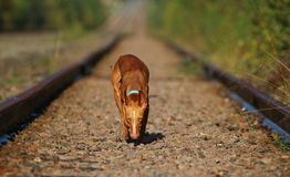 Puppy cirneco stands on the railway. Puppy Cirneco goes by rail sniffs the earth Royalty Free Stock Photography