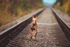 Puppy cirneco runs on the railway. Puppy Cirneco runs on the rails Royalty Free Stock Photo