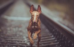 Puppy cirneco runs on the railway. Puppy Cirneco runs on the rails Stock Photo