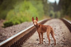 Puppy cirneco runs on the railway. Puppy Cirneco stands on the railway and looks at the camera Stock Image